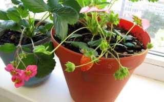 Как происходит выращивание клубники на балконе