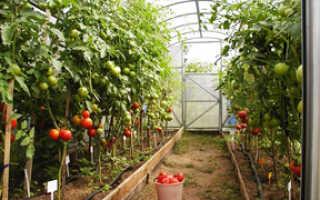 Особенности выращивания тепличных помидор